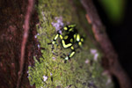 Green and Black Poison Dart Frog (Dendrobates auratus) in the rainforest canopy [colombia_2790]