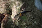 Orange Headed Gecko (Gonatodes albogularis)