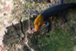 Red Headed Gecko (Gonatodes albogularis) [colombia_2851]