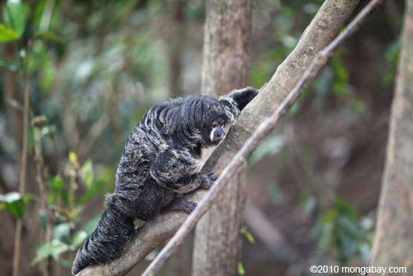 The aptly named monk saki monkey in Colombia (Pithecia monachus). A new review uncovers five new species in this largely-mysterious primate group. Photo by: Rhett A. Butler.