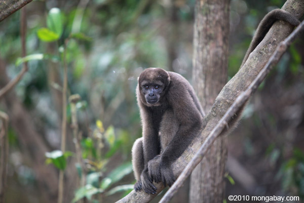 Common woolly monkey