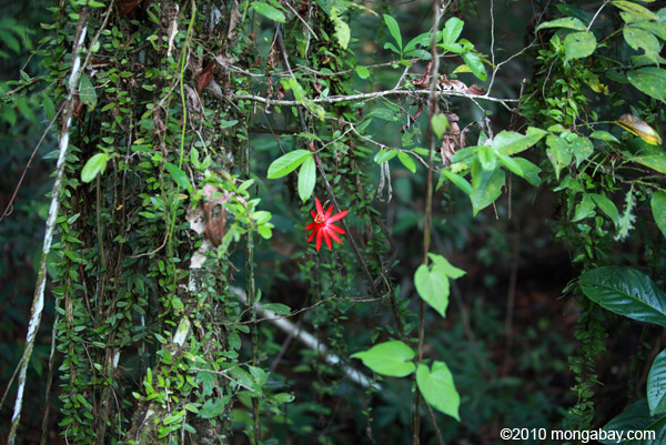 Passion Flower Facts For Kids