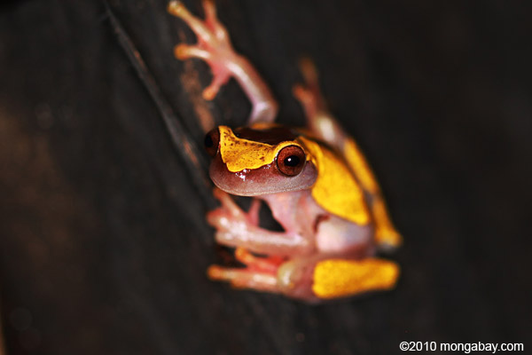 Clown tree frog (Dendropsophus leucophyllatus) in the Colombian Amazon