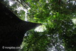 Looking up the trunk of a rainforest tree [java_0050]