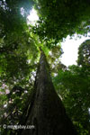 Looking up the trunk of a rainforest tree [java_0051]