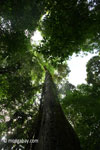Looking up the trunk of a rainforest tree [java_0052]