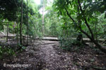 Fallen rain forest tree in Java's Ujung Kulon