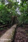 Fallen rain forest tree in Ujung Kulon