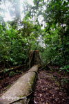 Fallen rainforest tree in Ujung Kulon N.P.