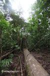 Fallen tree in Ujung Kulon National Park