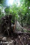 Fallen rainforest tree in Ujung Kulon N.P. [java_0116]