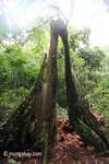 Split buttress roots of a rainforest tree