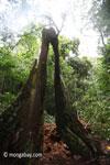 Split buttress roots of a rainforest tree [java_0126]