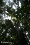 Ujung Kulon jungle tree