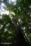 Ujung Kulon rain forest tree