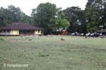 Deer on the grass at Peucang Island resort