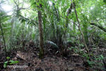 Palm swamp forest near Cidaon [java_0168]