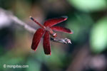 Red grasshawk dragonfly [java_0174]