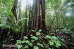 Roots of a stranger fig [java_0197]