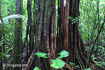 Roots of a stranger fig