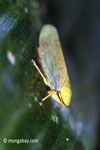 Yellow planthopper