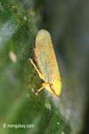 Yellow planthopper [java_0249]