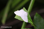 White moth [java_0280]