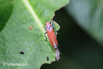 Orange planthopper [java_0299]