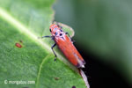 Orange planthopper [java_0301]