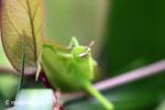 Bright green grasshopper [java_0311]
