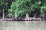 Mangroves in Ujung Kulon [java_0352]
