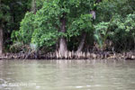 Mangroves in Ujung Kulon