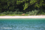 Javan rusa on the beach at Peucang Island