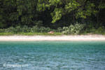 Deer on the beach at Peucang Island [java_0427]