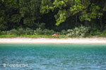 Deer on the beach at Peucang Island [java_0428]