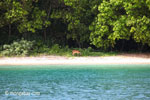 Deer on the beach at Peucang Island