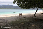 Deer on the beach at Peucang Island [java_0461]