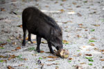 Wild boar on Peucang Island