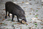 Wild boar sow on Peucang Island