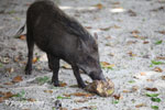 Wild boar eating a coconut on Peucang Island