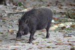 Male wild boar [java_0481]