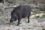 Male wild boar [java_0481]
