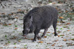 Male wild boar