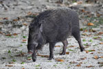 Male wild boar [java_0484]