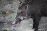 Wild boar [java_0485]