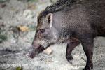 Wild boar [java_0487]