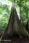 Tall buttress roots of a rainforest tree