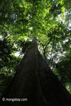 Rain forest giant