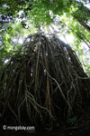 Gigantic strangler fig [java_0537]