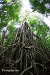 Gigantic strangler fig [java_0540]